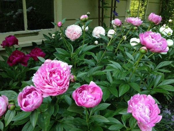 Artist Darlene Baker's peony garden.